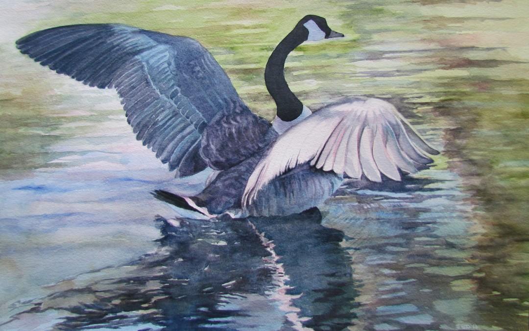 Canada Goose lifting off